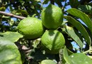 How to Grow Bearss Lime Trees