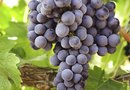 How to Fertilize Wine Grapes