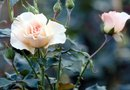 How to Transplant a Blooming Rosebush