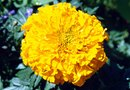 How to Grow Giant Yellow Marigolds From Seeds