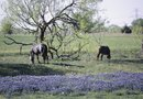 What Does Soil Need for Bluebonnets?