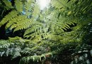 How to Propagate Tree Ferns