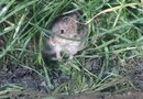 How to Get Rid of Voles With Garlic & Soybean Oil