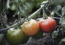 What Causes Tomato Plants to Be Purple?