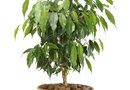 Ficus Shrub Care
