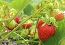 What Should I Fertilize My Strawberries With When They Are Putting on Fruit?