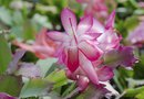 How to Grow a Christmas Cactus From a Broken Piece