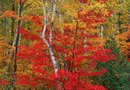 Space Requirements for a Sunset Maple Tree & Its Roots