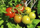 What Is the Blooming Period of Cherry Tomatoes?