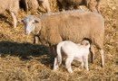 Health Benefits of Raw Organic Sheep's Milk