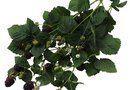 How to Remove Blackberry Bushes