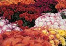 The Best Soil for Potted Mums