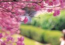 Diseases of the Japanese Weeping Cherry Tree