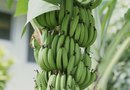 What Are the Seasonal Growing Stages of the Banana Tree?