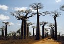 How to Grow a Baobab Tree