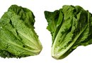 How to Pick Loose Leaf Romaine