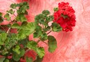 Container Recipe for Geranium Plants