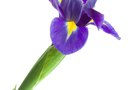 The Differences Between Iris Reticulata & Ruthenica