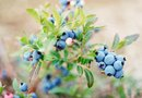 Organic Soil Preparation for Growing Blueberries