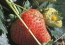 How to Fertilize Organic Strawberries