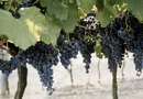 How to Build Concord Grape Arbors