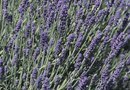 How to Grow Lavender From a Seed