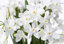 How to Care for Fragrant Narcissus Bulbs Indoors in Water