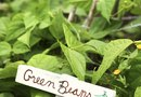 How to Stake Green Bean Plants