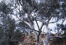 How to Prune Eucalyptus to Make a Bush