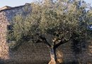 Do Gnats Come From Olive Trees?