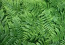 Is Lady Fern Toxic to Dogs?