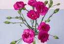 How to Grow Miniature Pink Carnations