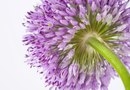 How to Grow Alliums From Seed