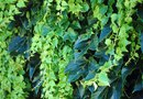 Chemicals to Kill English Ivy