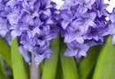 What to Do With a Hyacinth Plant Once the Flowers Have Died