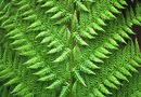 Ferns That Grow Plantlets