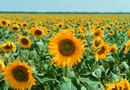 What Is It Called When Sunflowers Turn & Face the Sun?