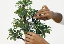How to Prune Branches on a Bonsai Ficus