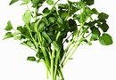 Care of Watercress