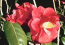 How to Cut Flowers From a Camellia Tree
