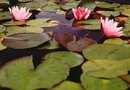 Plants to Clean Contaminated Pond Water