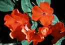 How to Take Cuttings from New Guinea Impatiens