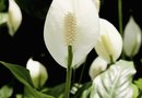 What Causes Peace Lily Flowers to Turn Green?