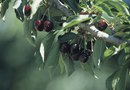 How to Make a Bing Cherry Tree Grow