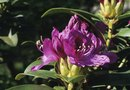 How Long Do Rhododendron Blooms Last?
