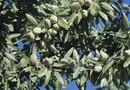 Does an Almond Tree Require a Second Tree to Pollinate?