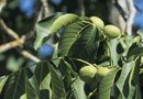 About Black Walnut