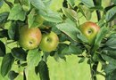 Simple Steps to Productive Apple Trees