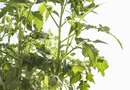 Why Tomato Plants Have No Buds