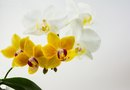 How to Grow & Prune Phalaenopsis Orchids